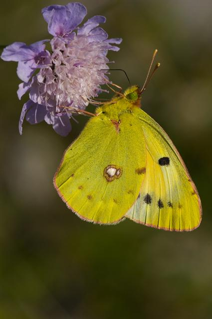 Orange høsommerfugl (Colias croceus) foto