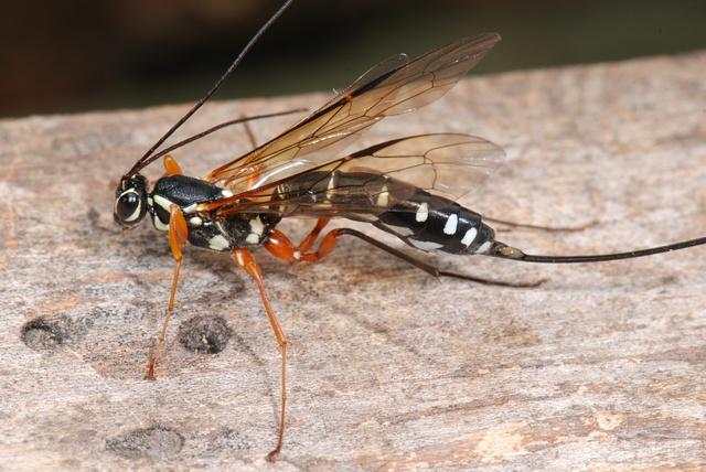 stor sabelhvepse larve