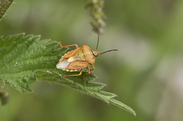 Purpurbredtæge (Carpocoris purpureipennis)