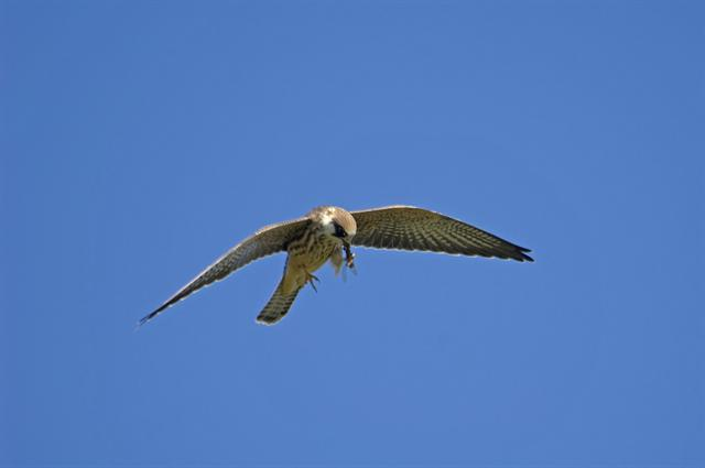 Aftenfalk (Falco vespertinus)