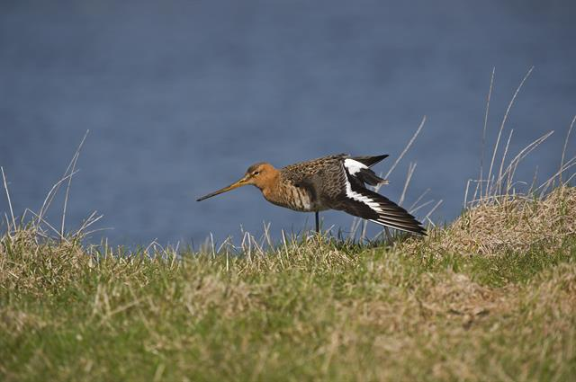 Stor kobbersneppe (Limosa limosa)