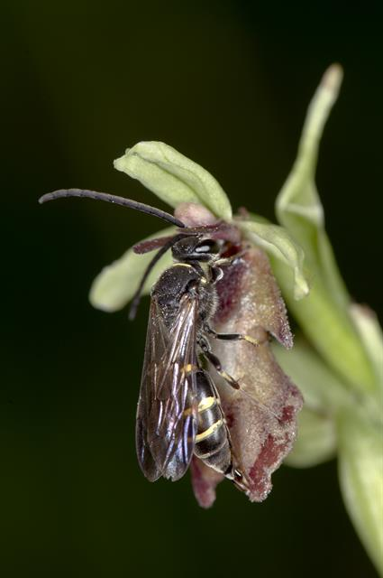 Flueblomst (Ophrys insectifera)