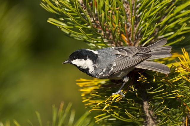 Sortmejse (Parus ater)