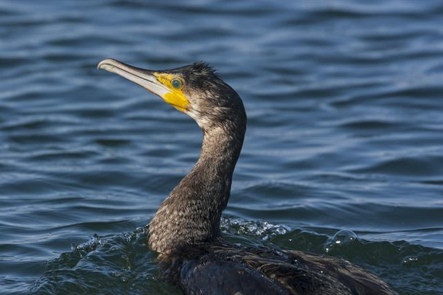 Skarv (Phalacrocorax carbo) foto