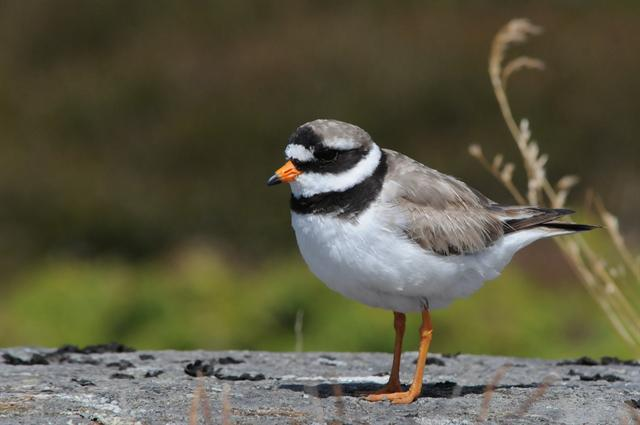 Stor præstekrave (Charadrius hiaticula) foto