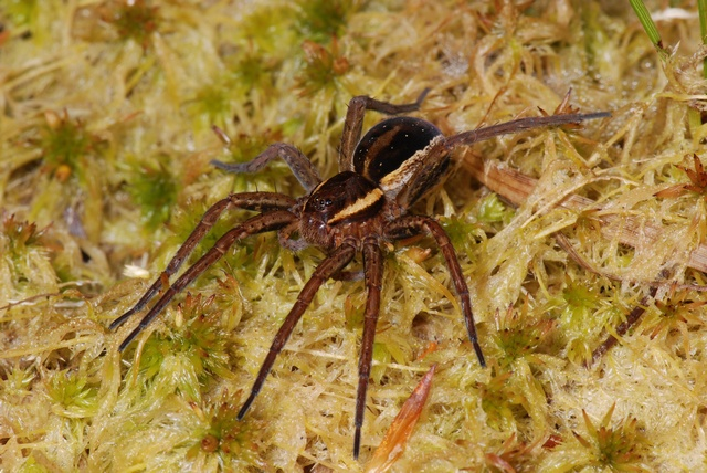 Stor rovedderkop (Dolomedes fimbriatus) foto