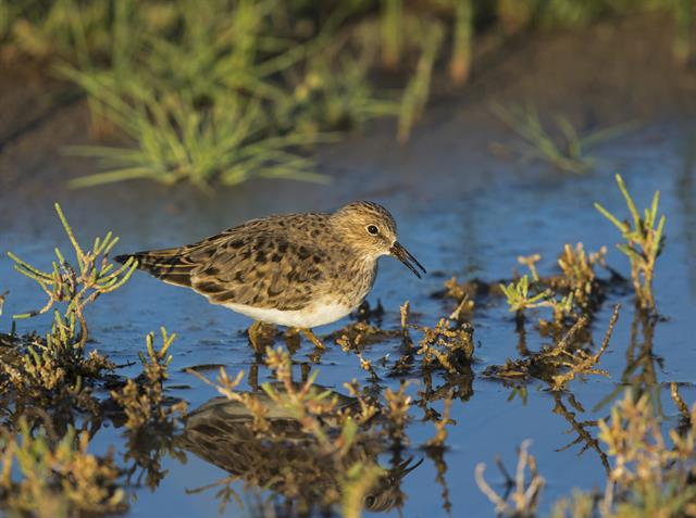 Temmincksryle (Calidris temminckii) foto