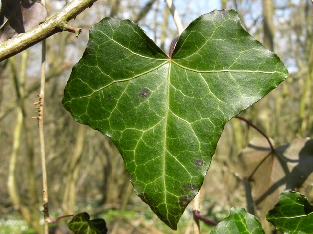 Vedbend (Hedera helix) foto