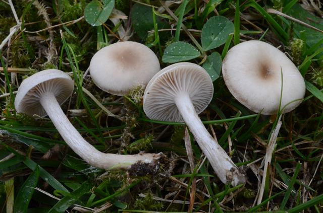 Vellugtende tragthat (Clitocybe fragrans) foto