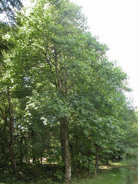 http://www.biopix.dk/Temp/JCS%20Liriodendron%20tulipifera%2012067.jpg