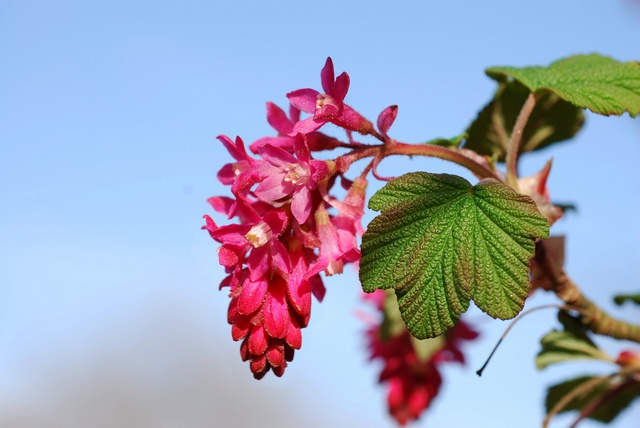Rosenrips (Ribes sanguineum) foto