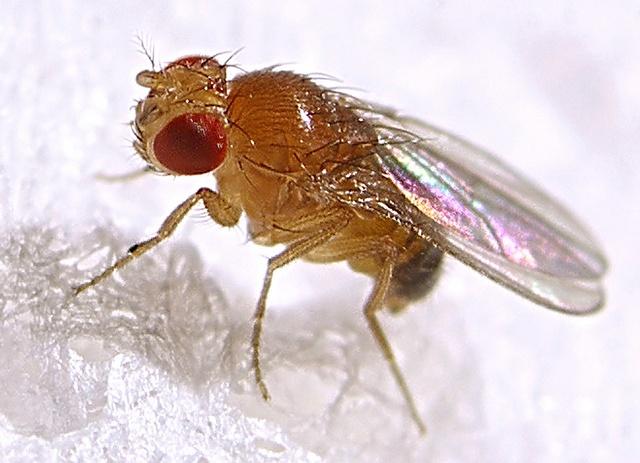 Cría de Drosophila melanogaster