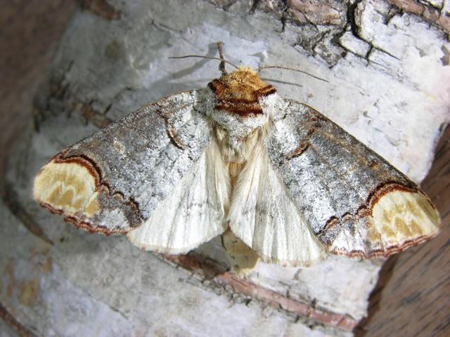 Phalera bucephala