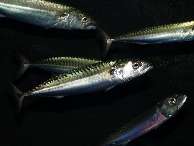 La Pesca del Dorado por José Manuel López Pinto / Actualizado al 27/07/12 Scomber%20scombrus%2000003