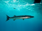 Great barracuda (Sphyraena barracuda)