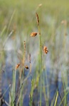 Tall Bog-Sedge (Carex magellanica)