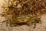Shore Crab, European Green Crab (Carcinus maenas)