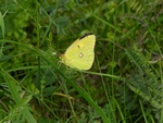 Orange høsommerfugl (Colias croceus)