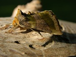 Burnished Brass (Diachrysia chrysitis)