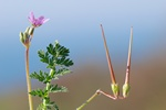 Common StorkS-Bill (Erodium cicutarium)