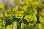 Turkish Wood Spurge (Euphorbia amygdaloides ssp. robbiae)