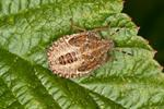 Bærtege (Dolycoris baccarum)