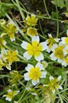 Sumpblomst (Limnanthes douglasii)