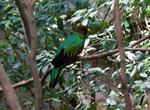 The Golden-Headed Quetzal (Pharomachrus auriceps)