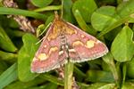 Purpurengmott (Pyrausta purpuralis)