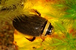Graphoderus zonatus