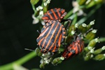 Stribetæge (Graphosoma lineatum)