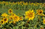 Tournesol, Hèlianthe annuel, Soliel, grand (Helianthus annuus)