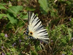 Scarce Swallowtail (Iphiclides podalirius)