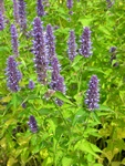 Mexicansk Anis-Isop (Agastache mexicana)