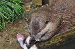 Asian small-clawed otter (Amblonyx cinereus)