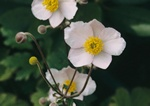 Høst-Anemone (Anemone japonica)