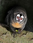Owl monkey, northern night monkey (Aotus trivirgatus)