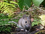 Wood mouse,  Long-tailed field-mouse (Apodemus sylvaticus)