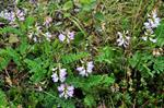 Alpine Milk-Vetch (Astragalus alpinus)