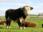 Hereford Kvæg (Bos taurus (Hereford))