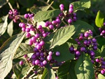 Beauty Berry (Callicarpa bodnieri (Profusion))
