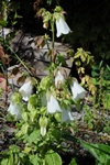 Bearded Bellflower (Campanula barbata)
