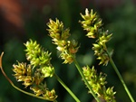 Prickly Sedge (Carex pairae)