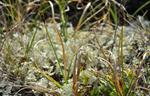 Klippe-Star (Carex rupestris)