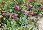 Milamores (Centranthus ruber)