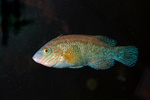 Rock cook, Small-mouthed wrasse (Centrolabrus exoletus)
