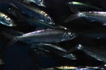 Atlantic herring (Clupea harengus)