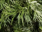 Kryptomeria (Cryptomeria japonica)