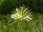 Yellow-Flowered Teasel (Dipsacus strigosus)