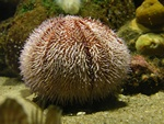 Edible sea urchin, Common sea urchin (Echinus esculentus)